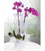 Orkide Çift Dal Mor