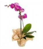 Orkide Tek Dal Mor