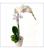 Orkide Tek Dal Beyaz