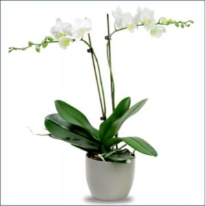 Orkide Çift Dal Beyaz